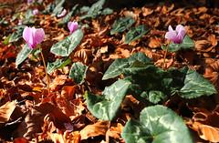 bosco sant01112013 (luckyf) Tags: foglie autunno colori boschi ciclamini vision:outdoor=0686
