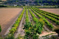 Vinyes de l'Urgell Ciutadilla, Costers del Segre. (Angela Llop) Tags: spain wine eu vine catalonia vineyards catalunya vias urgell vinyes vitisvinifera costersdelsegre