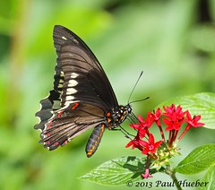 Butterfly - Polydamas Swallowtail (Battus polydamas) (Paul Hueber) Tags: nature animal canon butterfly insect florida wildlife lepidoptera handheld seminolecounty altamontesprings centralflorida canonef100400mmf4556lisusm battuspolydamas polydamasswallowtail