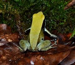 Mantella viridis (MantellaMan) Tags: amphibian endangered madagascar viridis anura mantella