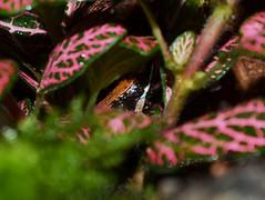 Mantella betsileo (MantellaMan) Tags: amphibian endangered madagascar anura mantella betsileo
