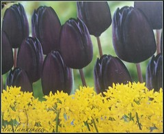 20 December 2013 (traulamashero) Tags: tulips album days tage 365 daffodils tulpen narzissen     traulamashero