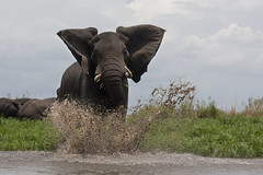 Might (Stolen Art) Tags: wild elephant water animal river anger safari malawi herd liwonde