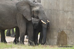 DSC_6017 (Arno Meintjes Wildlife) Tags: africa wallpaper elephant nature southafrica wildlife safari getty africanelephant loxodontaafricana africanbushelephant arnomeintjes