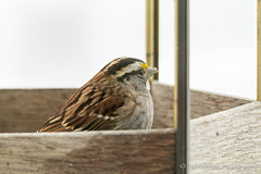 White-throated Sparrow (Jon Wittman Photography) Tags: winter snow birds backyard nikon wildlife scenic sigma maryland places baltimore os apo sparrow processing af feeders essex dx lightroom whitethroatedsparrow 563 whitethroated hsm d7100 lr5 150500mm lightroom5 baltimorecomd jonwittmanphotography