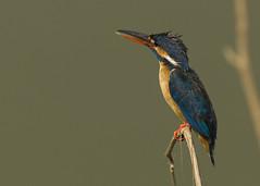 Common Kingfisher_E48G9098 (susan yeomans) Tags: mygearandme photographyforrecreationeliteclub