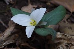 Trillium nivale - Snow Trillium (Mike Graziano) Tags: ohio flower trillium wildflower nivale snowtrillium trilliumnivale