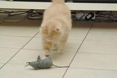 IMGP9041 (frankbehrens) Tags: cats tom cat chats kitten chat gatos gato katze katzen kater