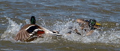 Two Drakes Fighting (Kaptured by Kala) Tags: bird nature water intense pond ducks fighting drake waterfowl kala mallards battling splashing malemallard breedingseason aquaticbird kalaking kapturedbykala