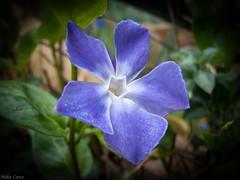 Clematis flower (bladerunner1511) Tags: flower macro nature raw clematis