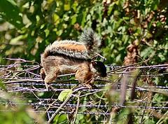 Isla Ometepe, Nicaragua - El Porvenir Squirrel (zorro1945) Tags: islaometepe ometepe nicaragua elporvenir altagracia squirrel centroamerica centralamerica