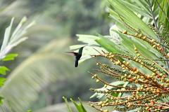 colibri (cth.huynh) Tags: sea green animal martinique banane foret plage oiseau tortue sucre lzard colibri sucrier