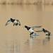 Fuligule Morillon - Tufted Duck - Aythya fuligula