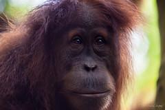 Orangutan 4838 (Ursula in Aus) Tags: animal sumatra indonesia unesco orangutan ape greatape bukitlawang gunungleusernationalpark earthasia
