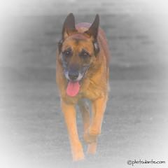 Slowly She Fades From My Mind (bedrijfsfotograaf & productfotograaf) Tags: dog tongue canon walking design foto fotografie creative hond lopen tong malinois locatie fotograaf mechelseherder locatiefotografie eos550d locatiefotograaf creativedesignworld locatiefoto