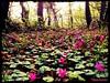 Violette nel bosco nella Valle Giumentina - Majella - Abruzzo - Italy