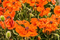 Hello my pretty (Culinary Fool) Tags: orange usa flower garden colorado july denver poppy leadville 2015 culinaryfool hwy24 18135mm brendajpederson