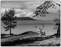 White Reindeer (b&w ver.) (Krogen) Tags: summer bw norway norge blackwhite sommer norwegen krogen reinsdyr hedmark femunden svarthvitt engerdal olympuse400 svhv silverefexpro