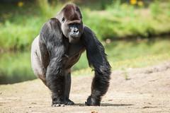 2015-07-16-12h33m04.272P4477 (A.J. Haverkamp) Tags: netherlands zoo gorilla thenetherlands beeksebergen noordbrabant dierentuin hilvarenbeek safariparkbeeksebergen westelijkelaaglandgorilla mkono canonef14xiiextender pobapeldoornthenetherlands httpwwwsafariparknl dob28011999 canonef500mmf4lisiiusmlens