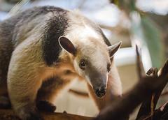150721Tamandua-1 (Molly Goossens) Tags: animal zoo minnesotazoo southerntamandua tropicstrail lesseranteater