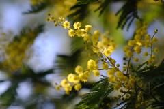 Mimosa (jpto_55) Tags: fleur mimosa bokeh xe1 fuji fujifilm omlens om85mmf2 hautegaronne france