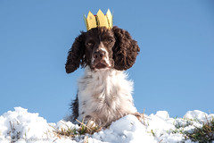 08/52 ZigZag 2017 (Flemming Andersen) Tags: 52weeksfordogs animal outdoor shrovetide snow winther zigzag dog hund king nature jelling regionsyddanmark denmark dk