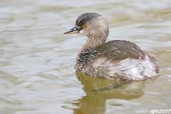 Least Grebe (Let there be light (A.J. McCullough)) Tags: texas texasbirds esterollanogrande weslaco grebe leastgrebe least birds southtexas