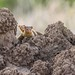 'The Lookouts' - Common Dwarf Mongoose (Helogale parvula)