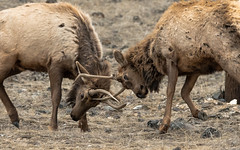 Winter Practice (matthewschonert) Tags: wildlife animal gardiner mt montana animals elk bull spike antlers sparring spar practice winter bulls male deer fight fighting antler nature natur