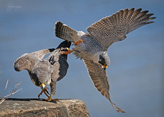 The Dismount (slsjourneys) Tags: falcon peregrines peregrinefalcons