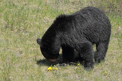 Black bear eating dandelions (Steve Boer) Tags: bear canada black canon jasper alberta animalplanet blackbear 100400l 60d