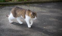 J'arrive... (Pics_Fab) Tags: animal cat chat walk marche picsfab