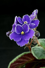 Optimara Martinique - blossoms (khufram) Tags: other martinique africanviolet optimara