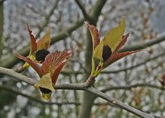 Cornus sanguinea 'Midwinter Fire' - BG Utrecht (Ruud de Block) Tags: utrecht tuin cornus cornaceae botanische cornussanguineamidwinterfire utrechtbotanicalgarden