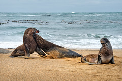 Waipapa Point-Sea Lions (scrumpy 10) Tags: newzealand beach animals tiere nikon wildlife sealions wilderness catlins aotearoa animalplanet neuseeland d800 wildanimals waipapapoint wildtiere jacqualine ozeanien newzealandnature wildimages animalsoftheworld scrumpy10