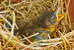 Baby bluebird (Lindell Dillon) Tags: nature birds canon raw bluebird easternbluebird babybluebird eos7d reddirtpics lindelldillon bluebirddiary