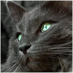 Luan closely (FocusPocus Photography) Tags: portrait closeup cat feline chat kitty porträt norwegian gato katze kater nahaufnahme longhaired luan norweger forestcat coth waldkatze norwegische kittysuperstar bestofcats impressedbeauty catmoments langhaarkatze coth5