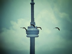 Birds and CN Tower (Toronto, Canada. Gustavo Thomas  2013) (Gustavo Thomas) Tags: city toronto ontario canada bird tower nature animals flying cntower aves pjaros