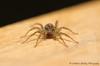 Wolf Spider (Lycosidae) (Veg_Brush) Tags: wood macro eye nature animal closeup spider wolf wildlife arachnid leg predator eight invertebrate arthropod araneae lycosidae chelicerae palp epigeal