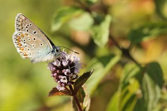 Saveur violette (Adam Khalife) Tags: macro adam nature vert argus argusbleu khalife