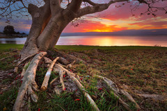 Lake Illawarra Tree (stevoarnold) Tags: longexposure sunset red lake tree water leaves sunrise branches roots australia nsw newsouthwales southcoast illawarra lakeillawarra