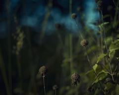 the end of the monarda (amy buxton) Tags: wild sky plants fall nature strange dark weird scary darkness natural teal dream surreal creepy seeds depression coneflower disturbing prairie seedpods dreamlike depressing savanna monardafistulosa morewebs vintagenikor50mmf18