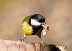 great tit 1 (explored) (Dawn Porter) Tags: