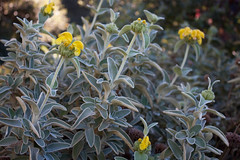 Phlomis fruticosa 'Compacta' (NativeSonsNursery) Tags: flower green yellow gold native nursery gray melissa gale foliage evergreen bloom shrub perennial sons gorman lamiaceae jerusalemsage fruticosa phlomis compacta mg00382