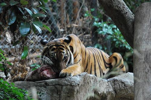 Tiger at San Diego Zoo