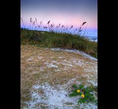 Sand Dunes Florida (ROBERT ST-PIERRE) Tags: ocean flowers sunset usa beach water vertical america landscape nikon san waves florida dusk dunes united salt atlantic coco states