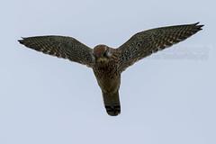 Kestrel (Simon Bone Photography) Tags: uk bird nature female prime flying inflight wildlife hunting 7d kestrel birdofprey hovering 400mm canonef400mmf56l canoneos7d wwwsimonbonephotographycouk