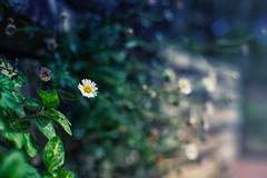 Tickseed (Brent Betz) Tags: flowers summer sunlight white green yellow rock fog wall garden georgia spring warm afternoon blossoms athens blooms statebotanicalgardenofgeorgia