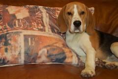 DLG12130114_ 3129 (manutdot) Tags: dog beagle dogs hound tricolor tricolour hounds beagles cheshirebeagle