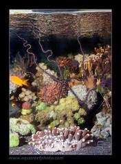ophiomastix0371_190512 (kactusficus) Tags: aquarium big marine starfish grand reef reeftank variabilis ophiomastix serpentstar ophiure echinoderma echinoderme detritivore